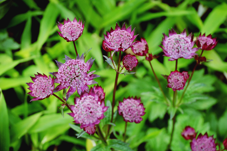 astrantia - walled garden mells