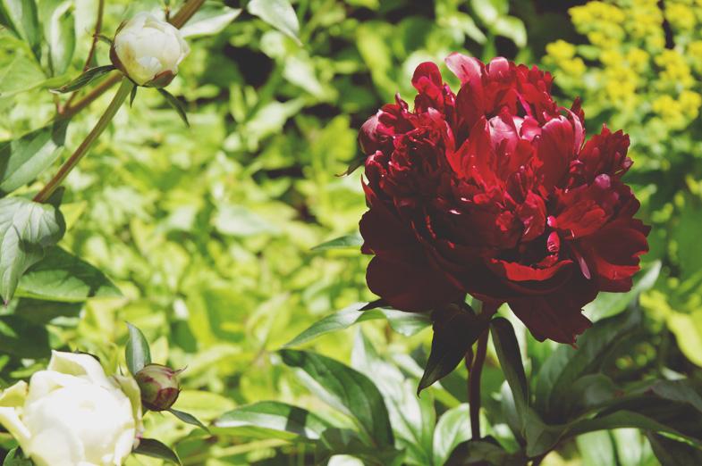 peonies - walled garden Mells