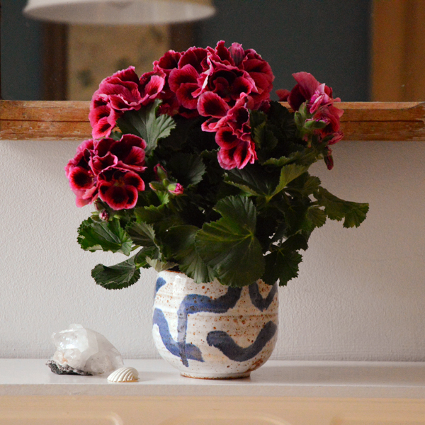House plant of the month - the pelargonium.  Makes the perfect mothers day gift.  Littlegreenshedblog.