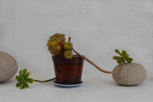 succulents-barb
