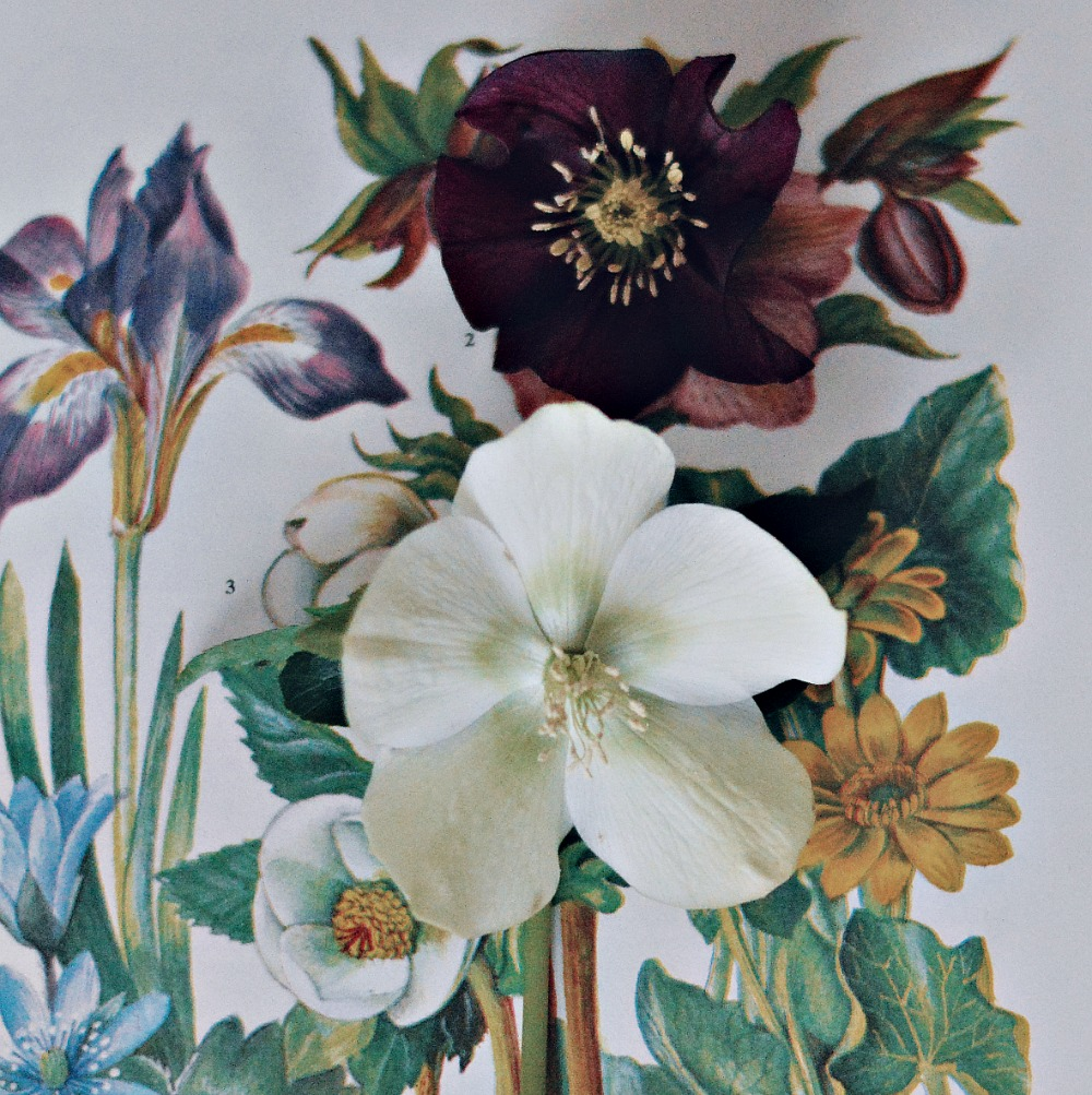 Nature in the home - Hellebore