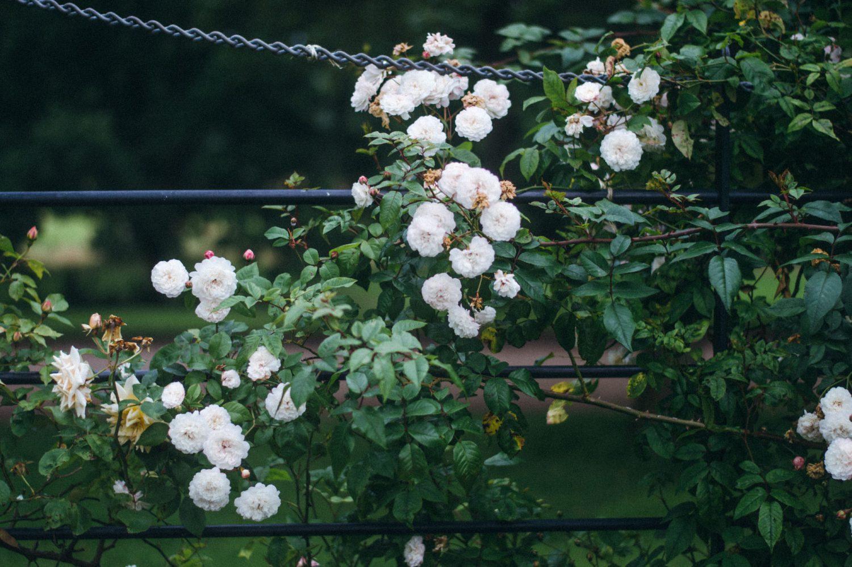 RHS Malvern Rose garden