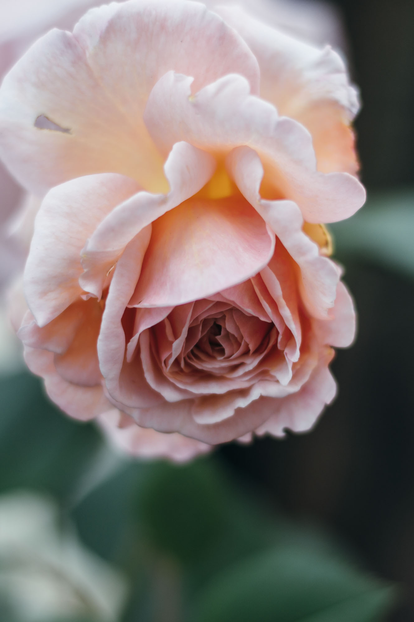 B&Q garden makeover rose #makeanentrance campaign